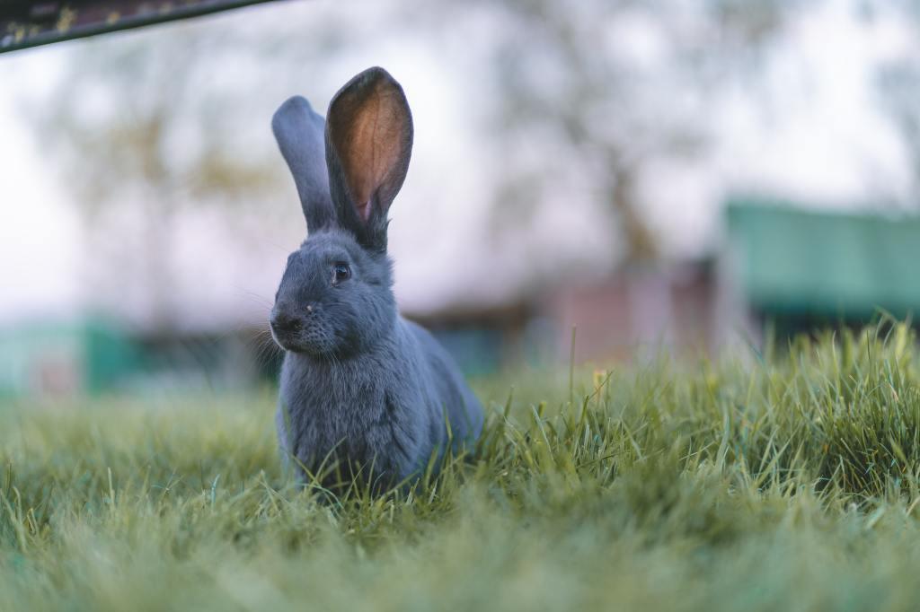 Auf einer grünen Wiese vor einem unspektakulär ausgeleuchteten, eher farblosen Natur-Hintergrund mit mehreren unscharf dargestellten Gebäuden sitzt ein Hase mit gespitzten Ohren und schaut schräg Richtung Kamera.