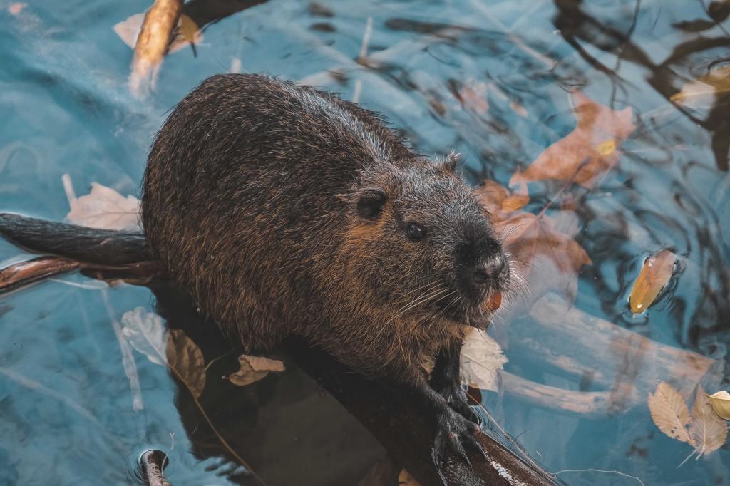 Ein freundlich aussehender Biber hockt auf einem Ast, der aus klarem Wasser herausragt, und plant Böses. Im Wasser treibt Herbstlaub.